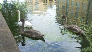 9 swans